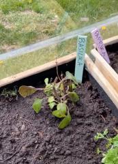 Small basil, pikku basilika
